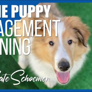 Engagement Training with a Collie Puppy | Dog Training