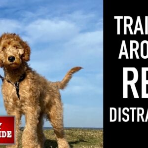 NEW PUPPY SURVIVAL GUIDE: This is How I Train EVERY DOG to LISTEN When DISTRACTED! (EP:8)