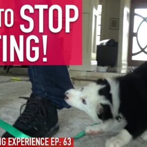 How to Train Your Puppy to STOP BITING, Watch How Long it Actually Takes!