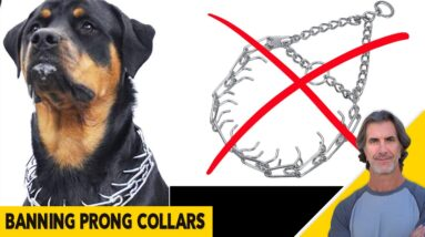 Prong Collar Question and When to Use a Harness - Dog Training Q&A