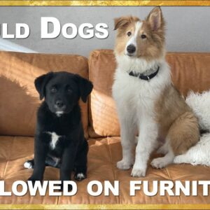 Should Dogs be Allowed on The Furniture? Dog Training!
