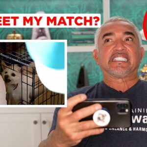 HOW I TRAINED AN AGGRESSIVE CHIHUAHUA! (Reacting to Has Cesar Met His Match!)