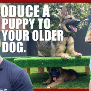 How to Introduce a Puppy to Your Older Dog.