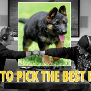 How to Pick the Best PUPPY for Protection Sports - Podcast Clip from 75