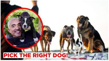 HOW TO PICK THE RIGHT DOG FOR YOU! BY CESAR MILLAN!