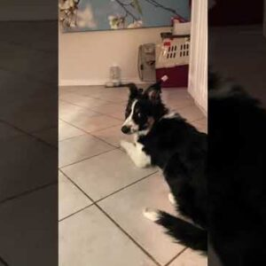 Smart Border Collie Puppy Plays Fetch A Little Differently #Shorts