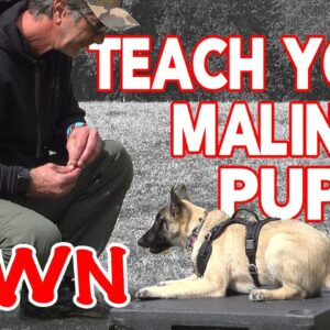 Teach Your Malinois Puppy HOW TO DOWN