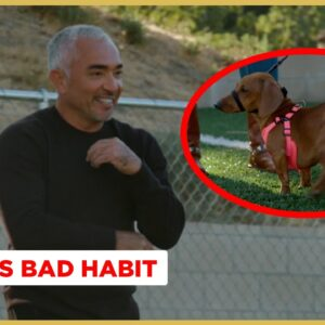 How to Stop Your Dog from Eating Trash off the ground! (Better Human Better Dog)