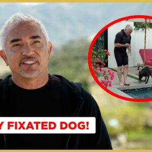 Teaching A Fixated Dog To Focus  (Better Human Better Dog Previews)