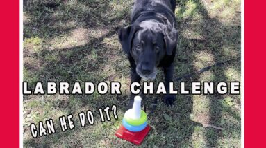 Ultimate Labrador Challenge The Stacking Rings #shorts