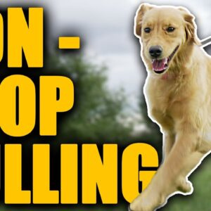 Leash Walking Training For Dogs That Are ALWAYS Pulling!