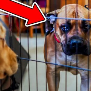 UNPREDICTABLE GIANT MASTIFF LUNGES AT GUEST!