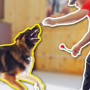 SHE TRAINED HER GSD PUPPY 10 MONTHS WITH NO RESULTS!